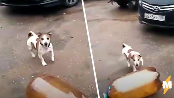 Собака и пивная кега
