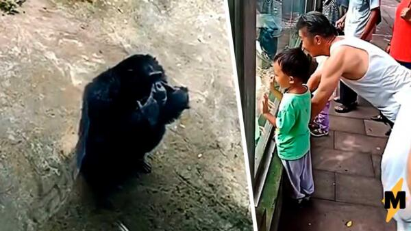 Шимпанзе отжимается в зоопарке