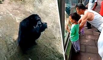 С виду шимпанзе, в душе фитнес-гуру. Примат поотжимался на видео, повторив за посетителем зоопарка