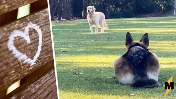Немецкая овчарка игриво встречает ретривера грацией кошки. Котопёс в реальности
