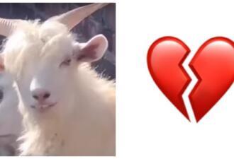 Хоть козёл, но красивый. Животное с чёлкой и человеческим взглядом обольщает пользователей соцсетей