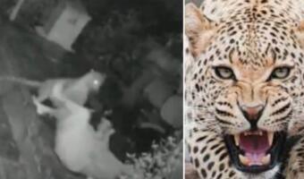 Леопард напал исподтишка на хромую женщину, но потерпел сокрушительное поражение. Отбивалась тростью