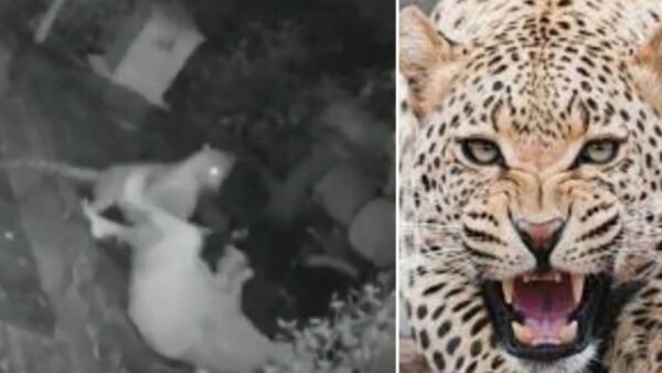 Женщина эффектно отбилась от леопарда палкой для ходьбы