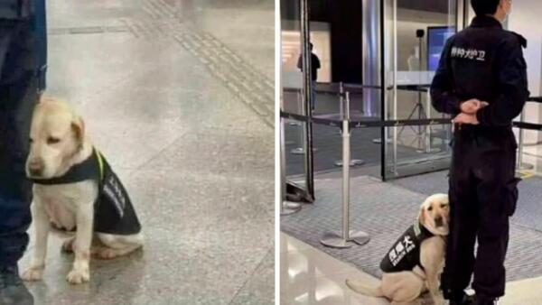Прижался к ноге и засыпает. Как фото сонного лабрадора в метро стало мемом о нежелании работать