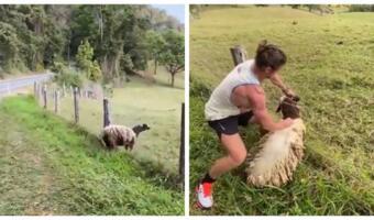 Регбист ловко спас овцу из колючей проволоки. Увидев геройский подвиг, зрители мечтают стать рогатой