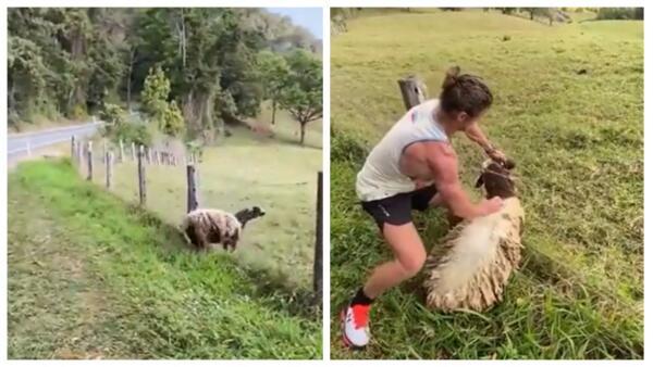 Незнакомец вытащил застрявшую в заборе испуганную овцу и стал супергероем в Сети