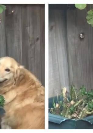 Любопытный пёс-шпион так подсматривает за соседями через забор, что стал мемом о долгой доставке