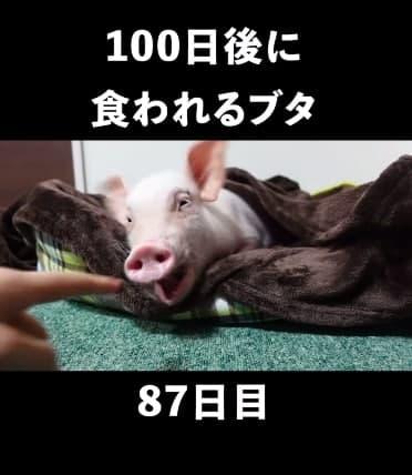 Русскоговорящие пользователи не верят японке, съевшей 100-дневного поросёнка. Они не узнают хрюшу