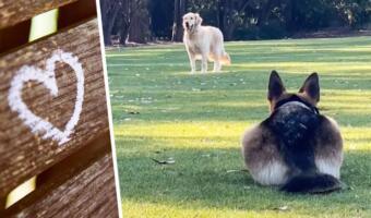 Овчарка Клео ловко притворяется кошкой, когда крадётся к ретриверу. В жизни — пёс, в засаде — кот