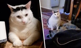 Толстый кот с человеческим взглядом — мем об отмене диеты. Питомец агрессивно борется за бодипозитив