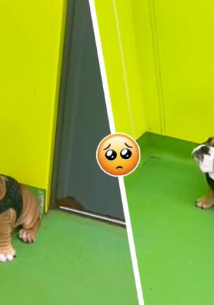Маленький бульдог на видео мило стесняется других собак. Так выглядит мем о неуверенности в себе
