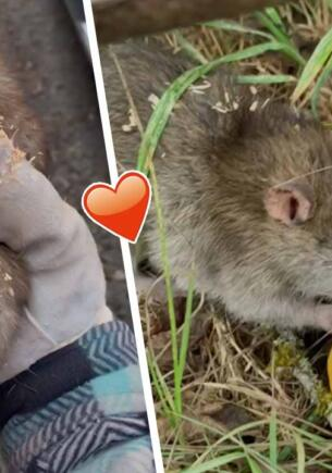 Фермерша поймала крысу-вредителя и сняла трогательное видео. Доброта подарила ей миллионы просмотров