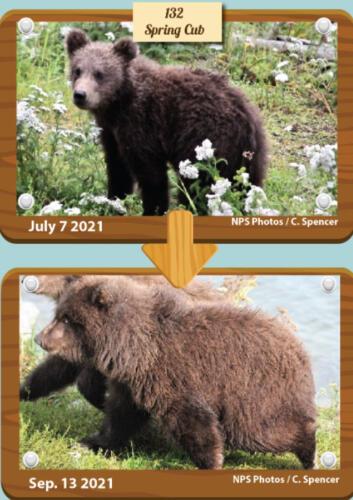 На конкурсе в США медведи показывают мастер-класс, как поправиться к осени. Это жир, это запасы на зиму