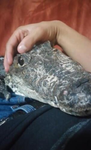 Ласковый крокодил прикорнул на руке хозяина и потерял статус хищника. В Сети рептилию прозвали котом