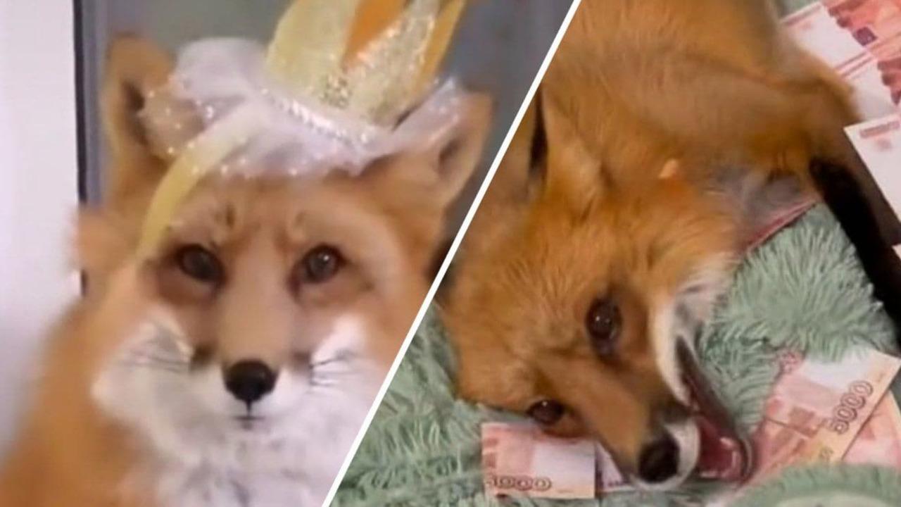 Непоседливая лиса ворует вино и купается в деньгах. Как рыжая питомица приносит хозяйке тысячи лайков