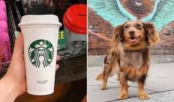Хитрая такса не ест из простых чашек. Обмануть пса не удаётся, ему подходят только стаканы Starbucks
