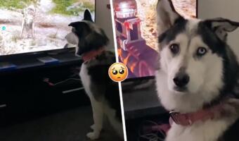 Хаски драматично осудила геймера за жестокость к псу в Far Cry 6. Во взгляде потеря веры в хозяина