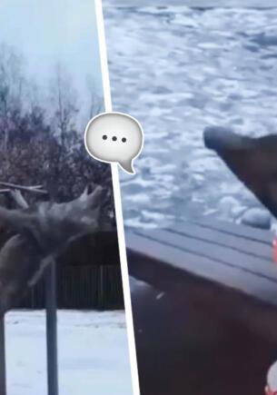 Что за мем, где волки качаются на турниках под строки «Доля воровская»? Мудрые хищники снова в тренде