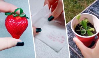 Как вырастить клубнику на подоконнике? Лёгкий лайфхак со спелой ягодой и бумажным полотенцем